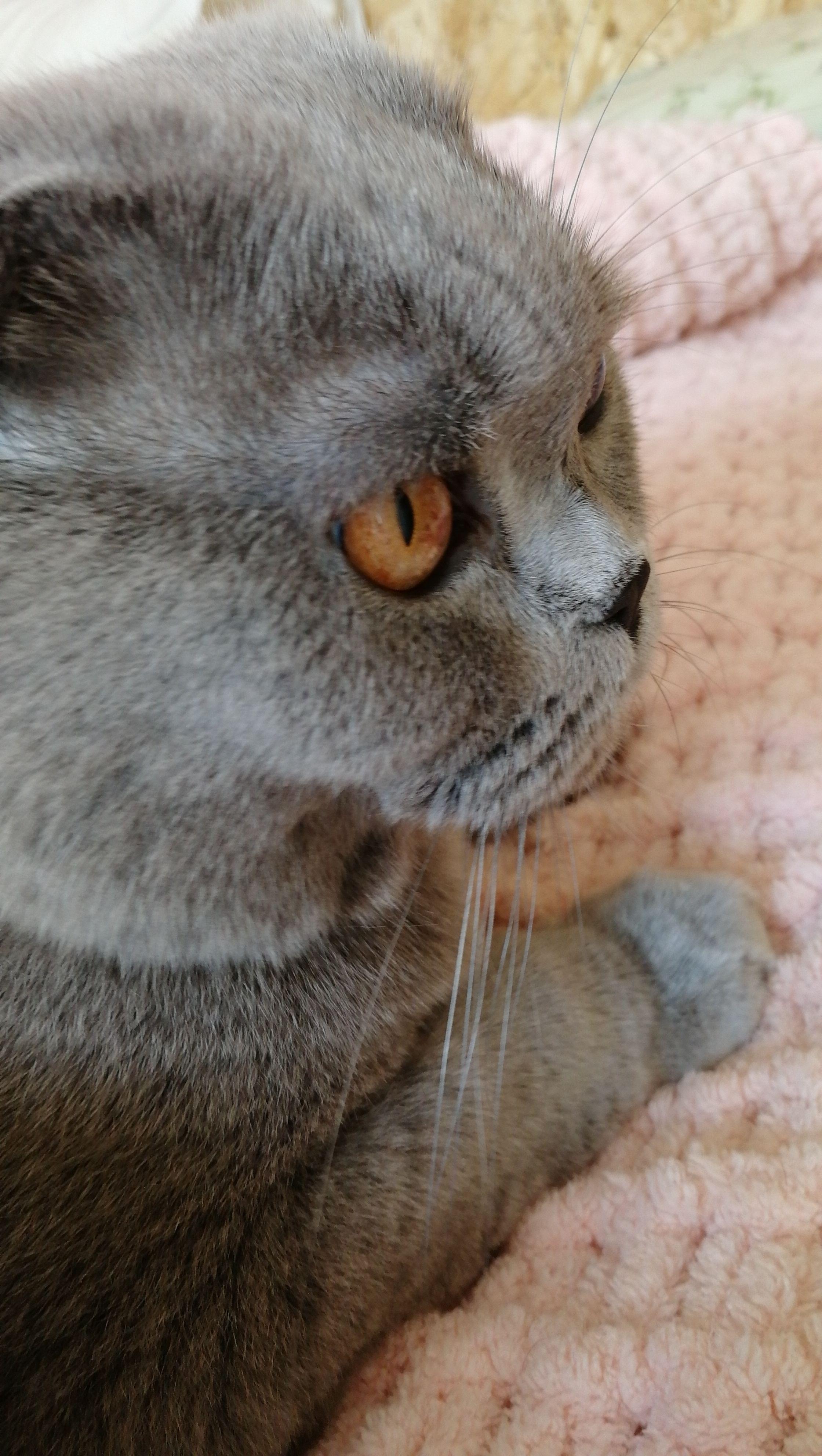 Потерялась Кошка (Шотландская вислоухая кошка)