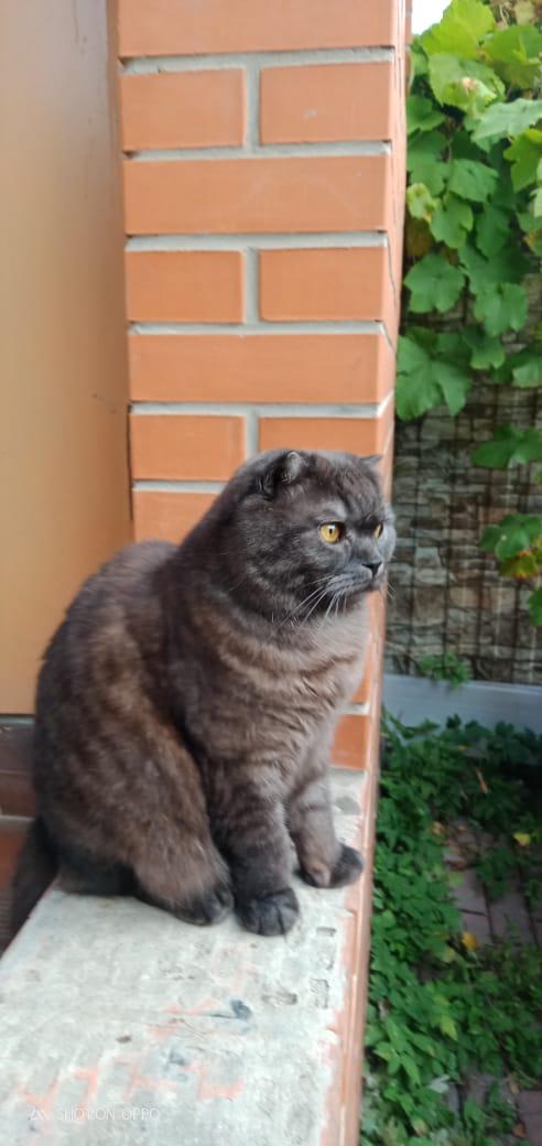 Потерялся Кот (Шотландская вислоухая кошка)