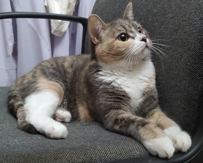 Потерялась Кошка (Бразильская короткошёрстная кошка)