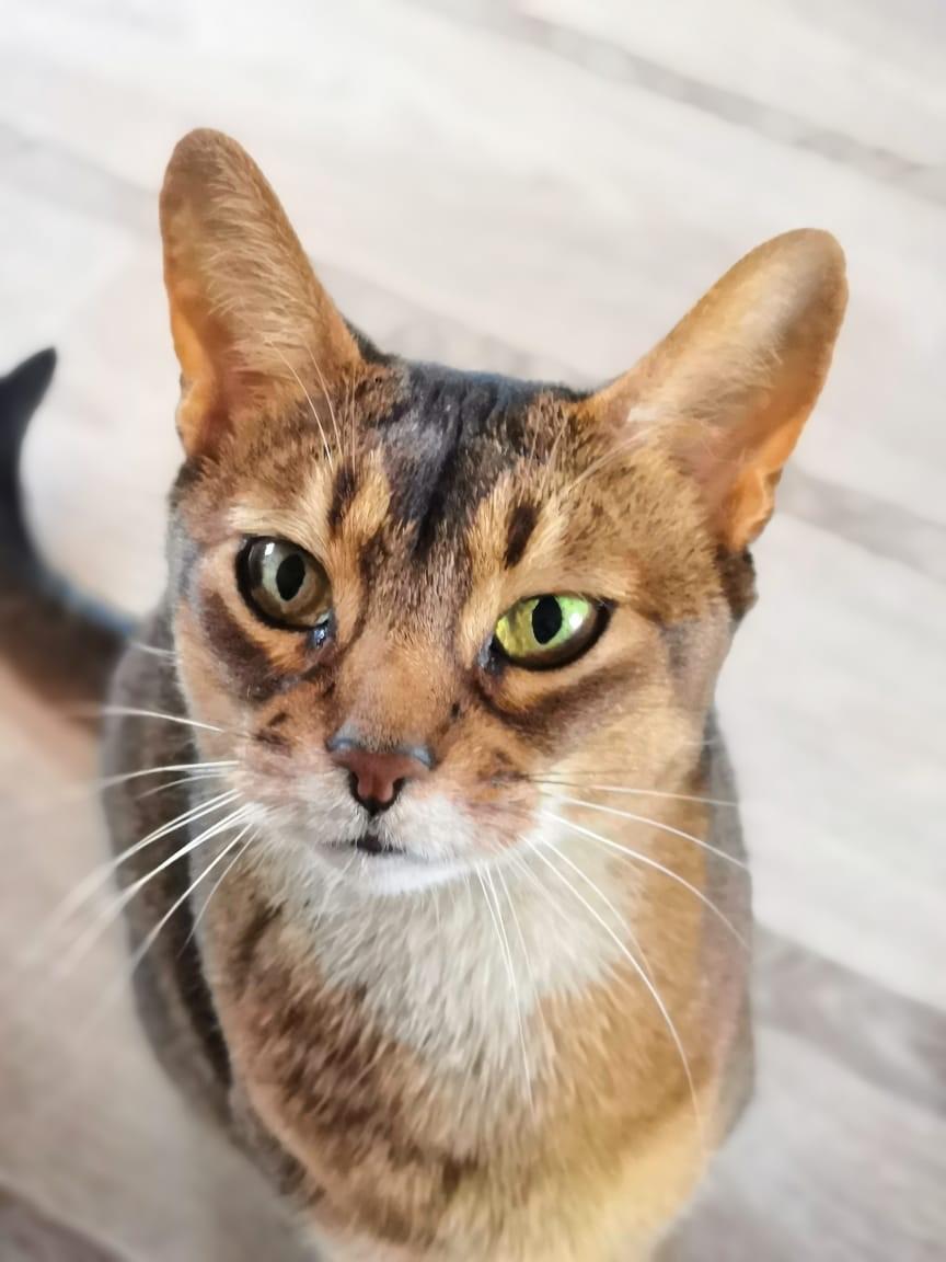 Потерялась Кошка (Абиссинская кошка)